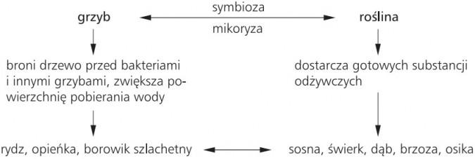 Mikoryza: symbioza grzyb-roślina.