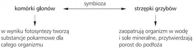 Symbioza komórki glonów - strzępki grzybów
