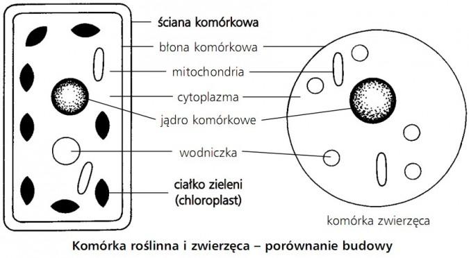 Komórka roślinna i zwierzęca - porównanie budowy. Ściana komórkowa, błona komórkowa, mitochondria, cytoplazma, jądro komórkowe, wodniczka, ciałko zieleni (chloroplast).