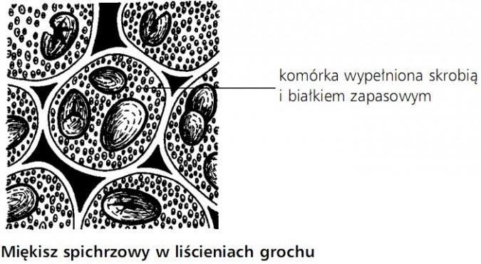 Miękisz spichrzowy w liścieniach grochu. Komórka wypełniona skrobią i białkiem zapasowym.