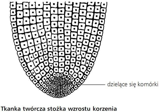 Tkanka twórcza stożka wzrostu korzenia. Dzielące się komórki.