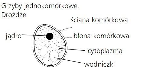 Grzyby jednokomórkowe. Drożdże. Jądro, ściana komórkowa, błona komórkowa, cytoplazma, wodniczki.