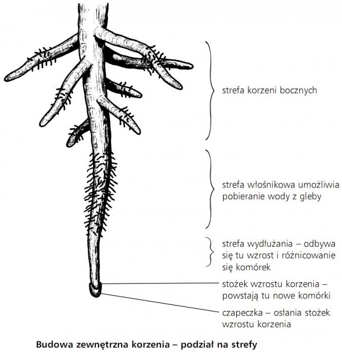Budowa zewnętrzna korzenia - podział na strefy. Strefa korzeni bocznych, strefa włośnikowa umożliwia pobieranie wody z gleby, strefa wydłużania - odbywa się tu wzrost i różnicowanie komórek, stożek wzrostu korzenia - powstają tu nowe komórki, czapeczka - osłania stożek wzrostu korzenia.