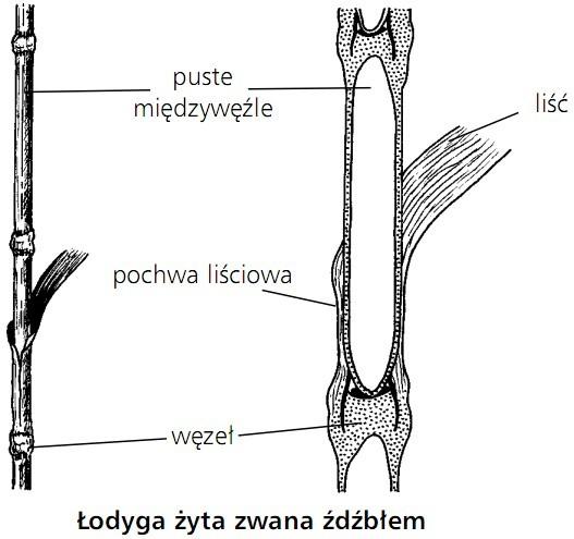 Łodyga żyta zwana źdźbłem. Puste międzywęźle, liść, pochwa liściowa, węzeł.