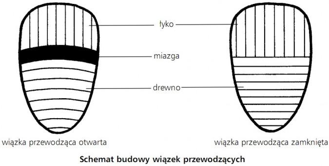 Schemat budowy wiązek przewodzących. Wiązka przewodząca otwarta, wiązka przewodząca zamknięta. Łyko, miazga, drewno.