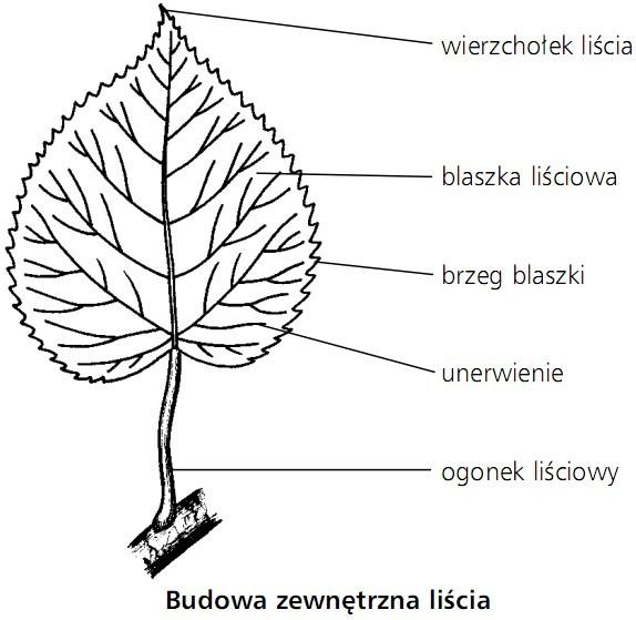 Budowa zewnętrzna liścia. Wierzchołek liścia, blaszka liściowa, brzeg blaszki, unerwienie, ogonek liściowy.