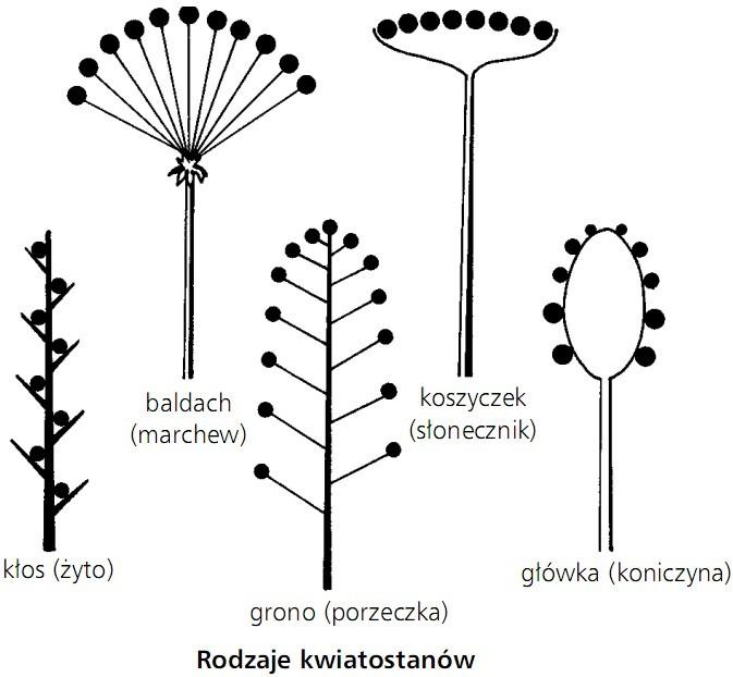 Rodzaje kwiatostanów. Kłos (żyto), baldach (marchew), grono (porzeczka), koszyczek (słonecznik), główka (koniczyna).