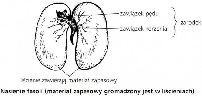 Nasienie fasoli (materiał zapasowy gromadzony jest w liścieniach). Zarodek (zawiązek pędu, zawiązek korzenia).