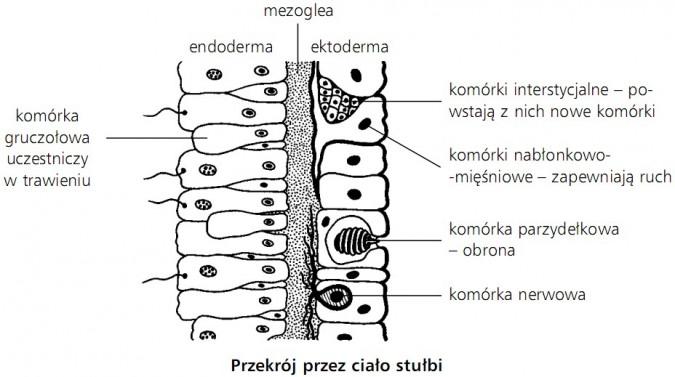 Przekrój przez ciało stułbi - komórka gruczołowa uczestniczy w trawieniu, endoderma, mezoglea, ektoderma, komórki interstycjalne - powstają z nich nowe komórki, komórki nabłonkowo-mięśniowe - zapewniają ruch, komórka parzydełkowa - obrona, komórka nerwowa.