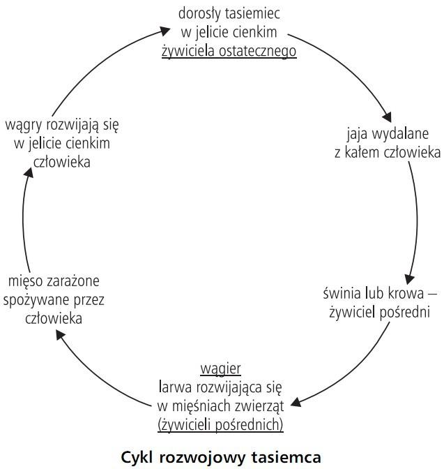 Cykl rozwojowy tasiemca. Dorosły tasiemiec w jelicie cienkim żywiciela ostatecznego, jaja wydalane z kałem człowieka, świnia lub krowa - żywiciel pośredni, wągier - larwa rozwijająca się w mięśniach zwierząt (żywicieli pośrednich), mięso zarażone spożywane przez człowieka, wągry rozwijają się w jelicie cienkim człowieka.