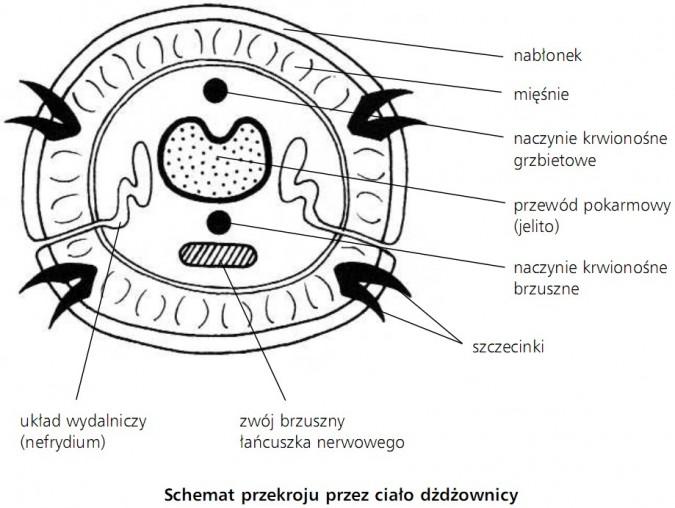 Schemat przekroju przez ciało dżdżownicy. Nabłonek, mięśnie, naczynie krwionośne grzbietowe, przewód pokarmowy (jelito), naczynie krwionośne brzuszne, szczecinki, zwój brzuszny łańcuszka nerwowego, układ wydalniczy (nefrydium).