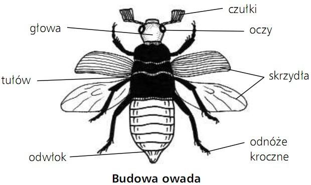 Budowa owada. Głowa, czułki, oczy, skrzydła, odnóże kroczne, odwłok, tułów.