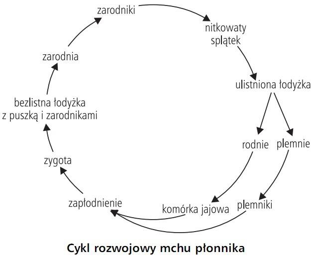 Cykl rozwojowy mchu płonnika. Zarodniki, nitkowaty splątek, ulistniona łodyżka, rodnie, plemnie, komórka jajowa, plemniki, zapłodnienie, zygota, bezlistna łodyżka z puszką i zarodnikami, zarodnia.