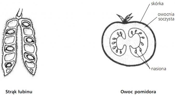 Strąk łubinu. Owoc pomidora - skórka, owocnia soczysta, nasiona.