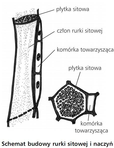 Schemat budowy rurki sitowej i naczyń. Płytka sitowa, człon rurki sitowej, komórka towarzysząca, płytka sitowa, komórka towarzysząca.