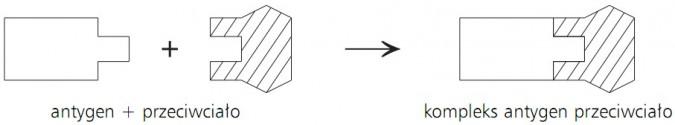 Antygen + przeciwciało -> kompleks antygen przeciwciało.