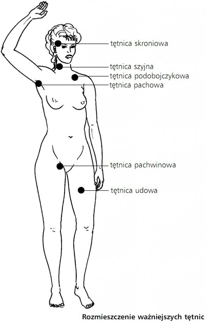 Rozmieszczenie ważniejszych tętnic. Tętnica skroniowa, tętnica szyjna, tętnica podobojczykowa, tętnica pachwowa, tętnica pachwinowa, tętnica udowa.