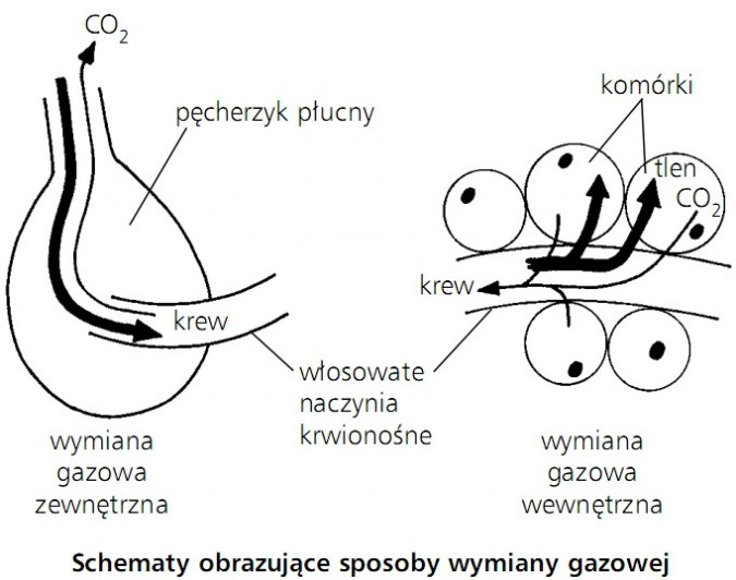 Schematy obrazujące sposoby wymiany gazowej. Wymiana gazowa zewnętrzna, wymiana gazowa wewnętrzna. CO2, pęcherzyk płucny, krew, włosowate naczynia krwionośne, komórki, tlen.