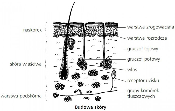 Budowa skóry. Naskórek (warstwa zrogowaciała, warstwa rozrodcza); skóra właściwa (gruczoł łojowy, gruczoł potowy, włos, receptor ucisku); warstwa podskórna (grupy komórek tłuszczowych).