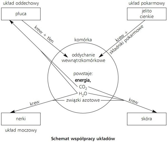Schemat współpracy układów. Układ oddechowy (płuca, krew, tlen), układ moczowy (nerki, krew), układ pokarmowy (jelito cienkie, krew, składniki pokarmowe), skóra (krew), komórka (oddychanie wewnątrzkomórkowe; powstaje: energia, CO2, H2O, związki azotowe).