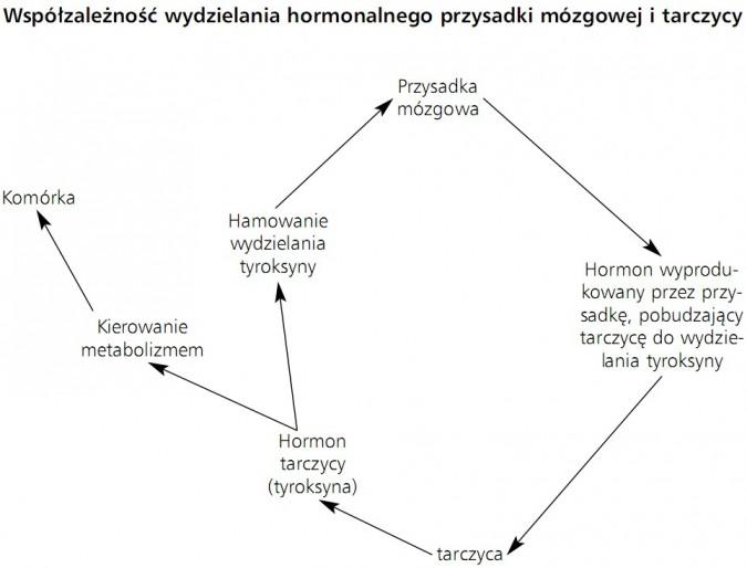 Współzależność wydzielania hormonalnego przysadki mózgowej i tarczycy. Hamowanie wydzielania tyroksyny, przysadka mózgowa, hormon wyprodukowany przez przysadkę, pobudzający tarczycę do wydzielania tyroksyny, tarczyca, hormon tarczycy (tyroksyna), kierowanie metabolizmem, komórka.