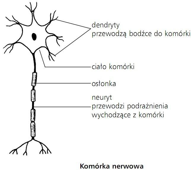 Komórka nerwowa. Dendryty przewodzą bodźce do komórki; ciało komórki; osłonka; neuryt przewodzi podrażnienia wychodzące z komórki.