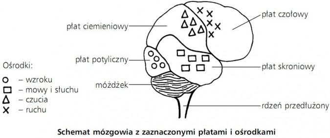 Schemat mózgowia z zaznaczonymi płatami i ośrodkami. Płat ciemieniowy, płat potyliczny, płat czołowy, płat skroniowy, móżdżek, rdzeń przedłużony. Ośrodki: wzroku, mowy i słuchu, czucia, ruchu.