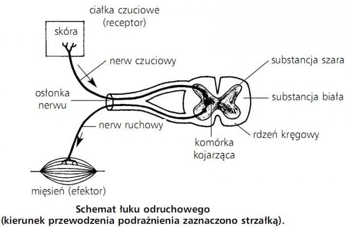 Schemat łuku odruchowego (kierunek przewodzenia podrażnienia zaznaczono strzałką). Skóra, ciałka czuciowe (receptor), nerw czuciowy, osłonka nerwu, nerw ruchowy, mięsień (efektor), substancja szara, substancja biała, rdzeń kręgowy, komórka kojarząca.