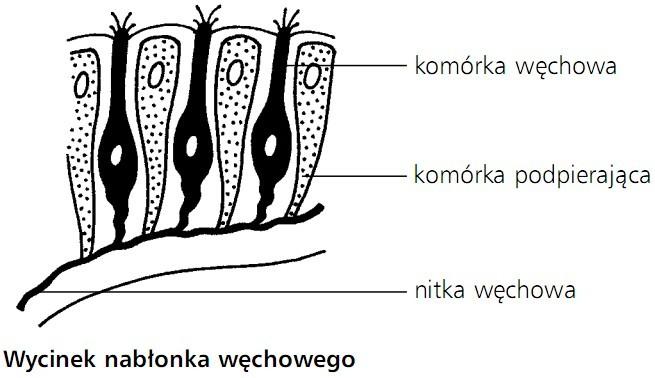 Wycinek nabłonka węchowego. Komórka węchowa, komórka podpierająca, nitka węchowa.