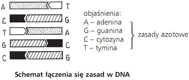 Schemat łączenia się zasad w DNA. Zasady azotowe: adenina, guanina, cytozyna, tymina.