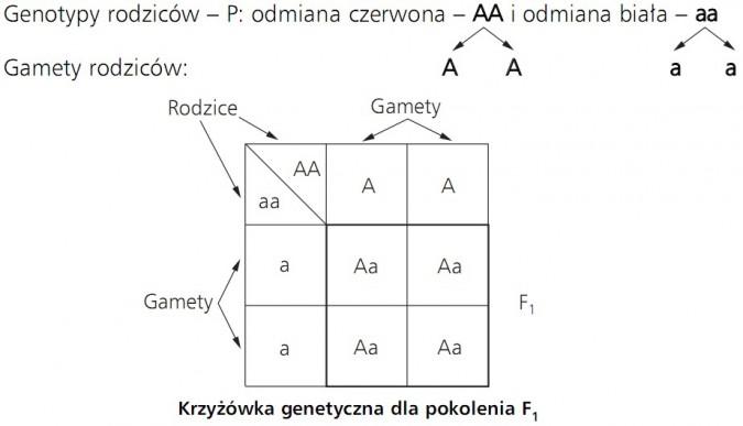 Krzyżówka genetyczna dla pokolenia F1. Genotypy rodziców - P: odmiana czerwona - AA i odmiana biała - aa. Gamety rodziców. Rodzice, gamety.