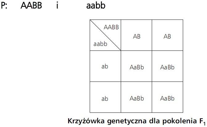 Krzyżówka genetyczna dla pokolenia F1. P: AABB i aabb.