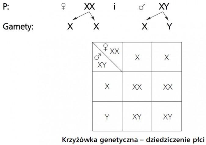 Krzyżówka genetyczna - dziedziczenie płci. P: XX i XY. X X X Y.