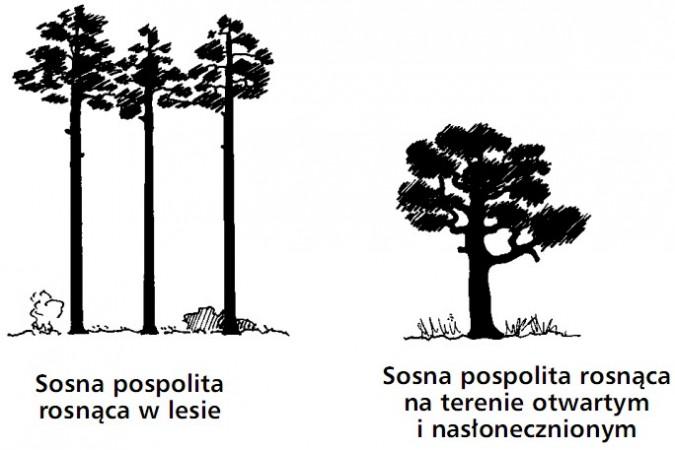 Sosna pospolita rosnąca w lesie. Sosna pospolita rosnąca na terenie otwartym i nasłonecznionym.