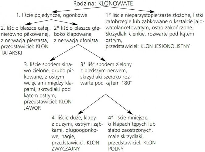 Klucz do oznaczania gatunków klonu występujących w Polsce. Rodzina: klonowate. 1. liście pojedyncze, ogonkowe. 1* liście nieparzystopierzaste złożone, listki całobrzegie lub ząbkowane o kształcie jajowatolancetowatym, ostro zakończone. Skrzydlaki cienkie, rozwarte pod kątem ostrym, przedstawiciel: klon jesionolistny. 2. liść o blaszce całej, nierówno piłkowanej, z nerwacją pierzastą, przedstawiciel: klon tatarski. 2* liść o blaszce głęboko klapowanej z nerwacją dłonistą. 3. liście spodem sinawo zielone, grubo piłkowane, z ostrymi wcięciami między klapami, skrzydlaki pod kątem ostrym, przedstawiciel: klon jawor. 3* liść spodem zielony z bledszym nerwem, skrzydlaki szeroko rozwarte pod kątem 180 stopni. 4. liście duże, klapy z dużymi, ostrymi ząbkami, długoogonkowe, nagie, przedstawiciel: klon zwyczajny. 4* liście mniejsze, o klapach tępych lub słabo zaostrzonych, małe skrzydlaki, przedstawiciel: klon polny.