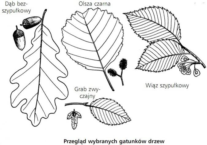Przegląd wybranych gatunków drzew. Dąb bezszypułkowy, olsza czarna, wiąz szypułkowy, grab zwyczajny.