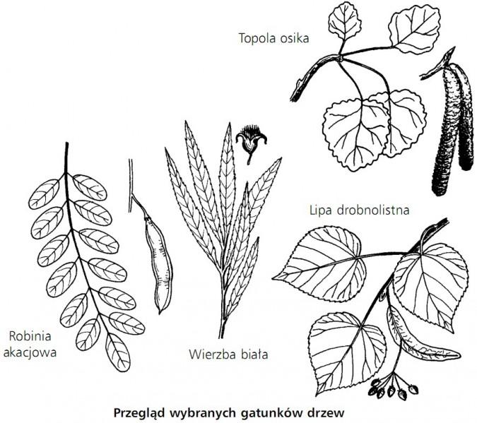 Przegląd wybranych gatunków drzew. Topola osika, robinia akacjowa, wierzba biała, lipa drobnolistna.