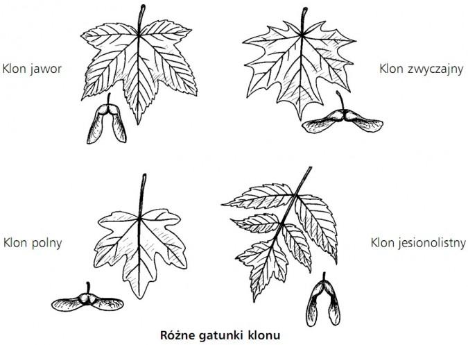 Różne gatunki klonu. Klon jawor, klon zwyczajny, klon polny, klon jesionolistny.