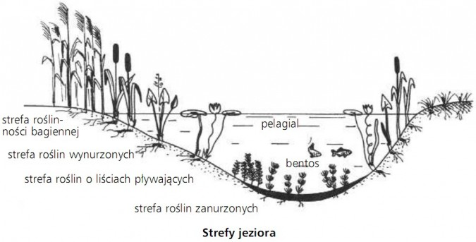 Strefy jeziora. Strefa roślinności bagiennej, strefa roślin wynurzonych, strefa roślin o liściach pływających, strefa roślin zanurzonych, pelagial, bentos.
