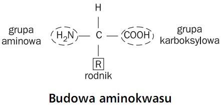 Budowa aminokwasu. Grupa aminowa, grupa karboksylowa, rodnik.