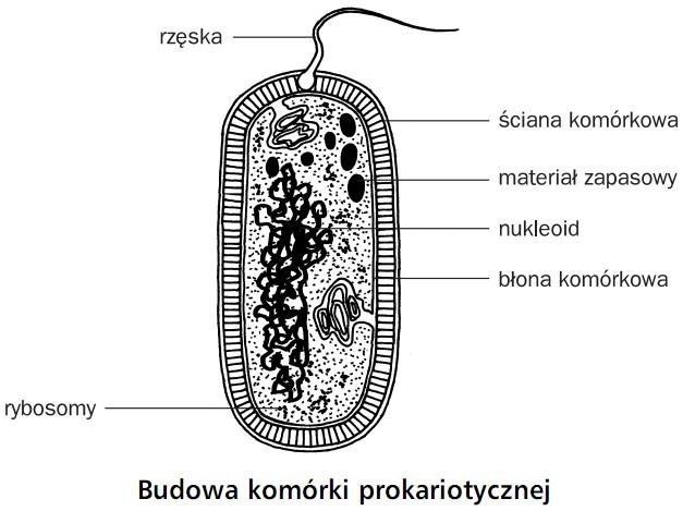 Budowa komórki prokariotycznej. Rzęska, rybosomy, ściana komórkowa, materiał zapasowy, nukleoid, błona komórkowa.