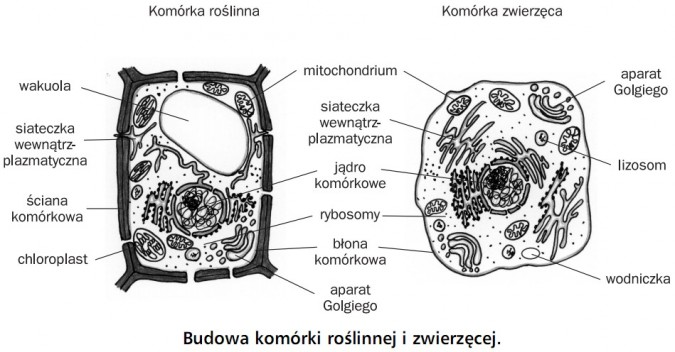 Budowa komórki roślinnej i zwierzęcej. Komórka roślinna, komórka zwierzęca. Wakuola, siateczka wewnątrzplazmatyczna, ściana komórkowa, chloroplast, mitochondrium, jądro komórkowe, rybosomy, błona komórkowa, aparat Golgiego, lizosom, wodniczka.