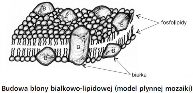 Budowa błony białkowo-lipidowej (model płynnej mozaiki). Fosfolipidy, białka.