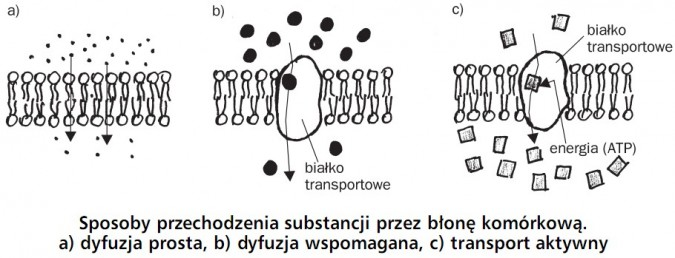 Sposoby przechodzenia substancji przez błonę komórkową. Dyfuzja prosta, dyfuzja wspomagana, transport aktywny. Białko transportowe, energia (ATP).