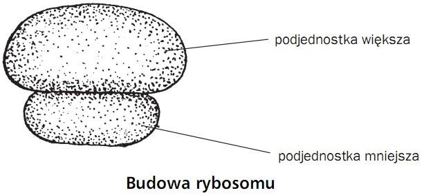 Budowa rybosomu. Podjednostka większa, podjednostka mniejsza.