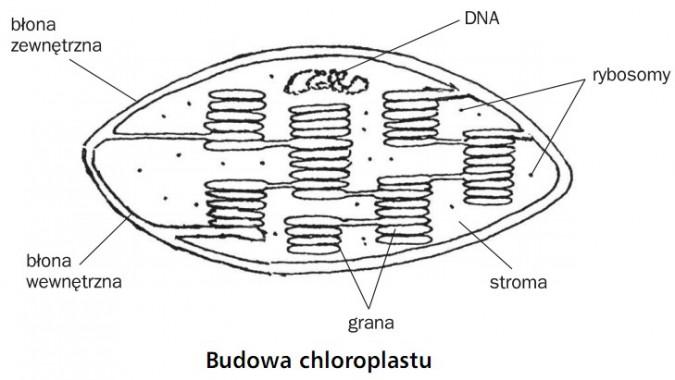 Budowa chloroplastu. Błona zewnętrzna, DNA, rybosomy, błona wewnętrzna, grana, stroma.