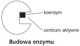 Budowa enzymu. Koenzym, centrum aktywne.