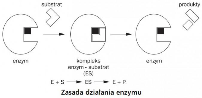 Zasada działania enzymu. Enzym, substrat, kompleks enzym - substrat - enzym, produkty.