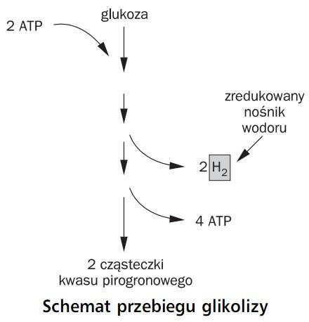 Schemat przebiegu glikolizy. Glukoza, zredukowany nośnik wodoru, 2 cząsteczki kwasu pirogronowego, ATP.