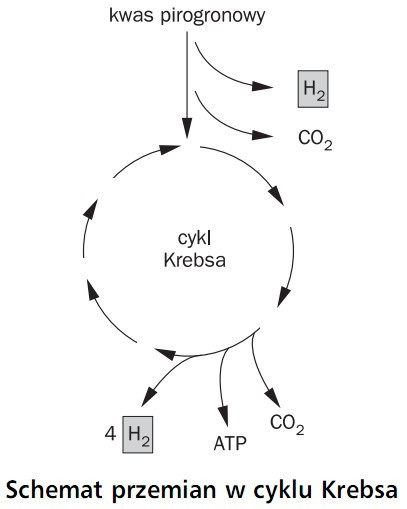 Schemat przemian w cyklu Krebsa. Kwas pirogronowy, cykl Krebsa, ATP, H2, CO2.